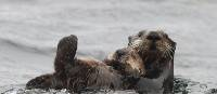 A pair of playful sea otters | ARiley