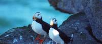 Pair of Horned puffins on Kolyuchin Island | Rachel Imber