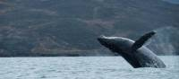 Whale breaching in the cool waters of Yttygran Island | Rachel Imber