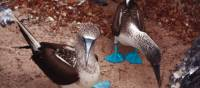 A pair of blue footed boobies looking to nest in the Galapagos Islands | Nigel Leadbitter