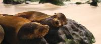 Sea lions resting, Galapagos Islands | Ian Cooper