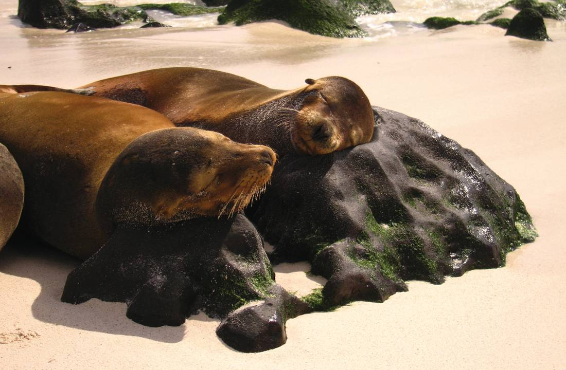 Sea lions resting on the Galapagos Islands |  <i>Ian Cooper</i>