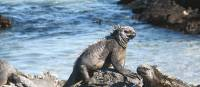 The Marine Iguanas are just some of the many animals you will discover on the Galapagos Islands | Jeanette Kuoni