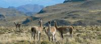 Guanaco in Patagonia | Anita Brooks