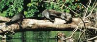 One of the world's most unusual animals, the Giant Otter, can be seen in the jungles of Peru | Andreas Holland