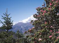 Beautiful shot of rhododendron in front of mountain peak -  Photo: Sally Imber