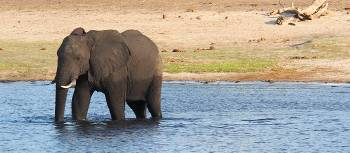 Elephant enjoying a swim in the Chobe River | Kylie Turner