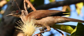 Silver-crowned Friarbird in Kakadu NP | Holly Van De Beek