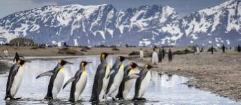 King Penguin parade on South Georgia | Richard I'Anson