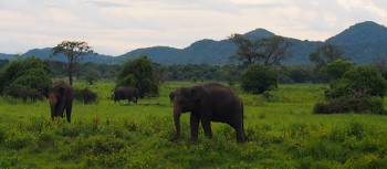 Wild elephants in Sri Lanka | Michael Pike